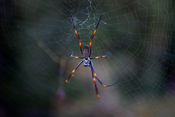Golden Orb Spider in Web by Simon Pollock