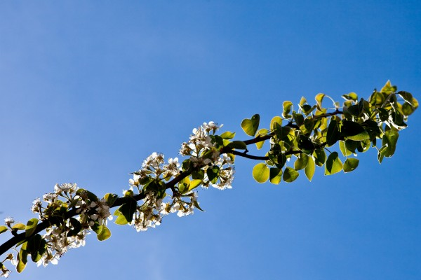 Blossoms on a tree in a blue sky
