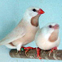 Pair of White Parsons