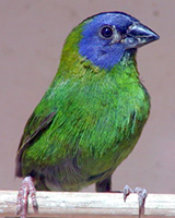 Male Blue-faced Parrotfinch