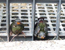 Young Blue-faced Parrotfinches