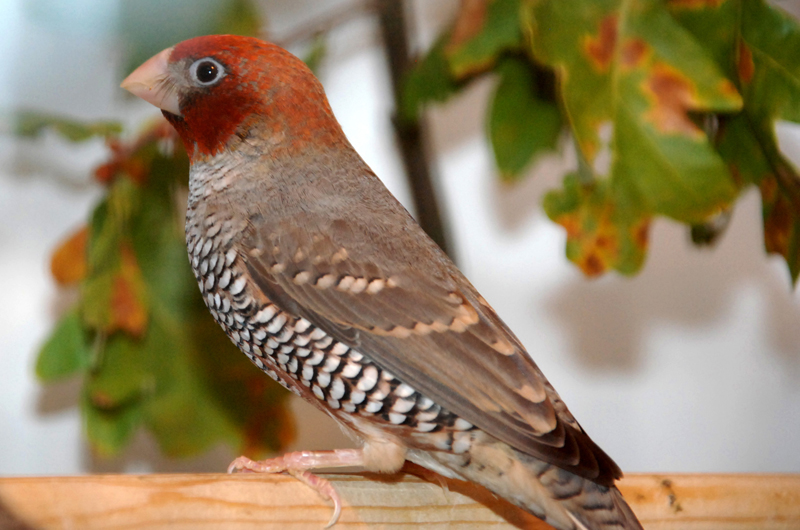 Red-Headed Finch or Aberdeen Finch