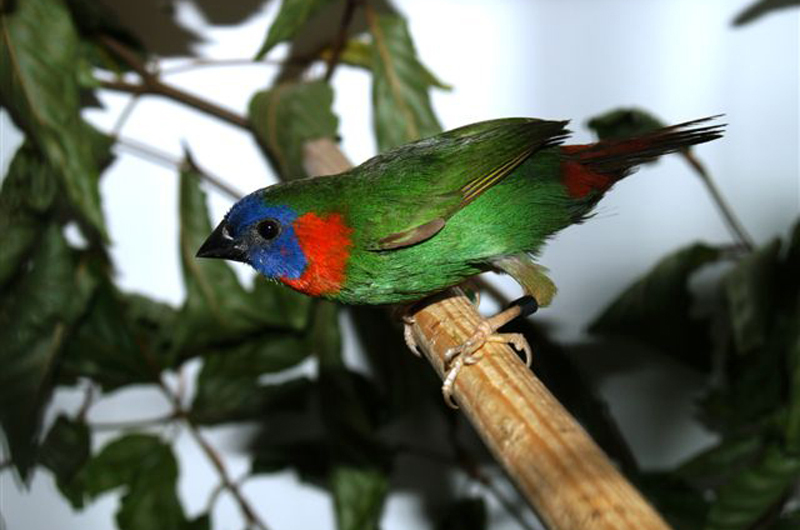Mount Katanglad Parrotfinch
