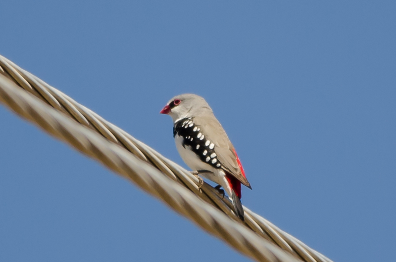 Adult Diamond Firetail Finch. Photo: Jim Clark