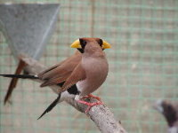 Pair of Masked Grassfinches.