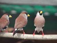 White-eared Masked Grassfinches.