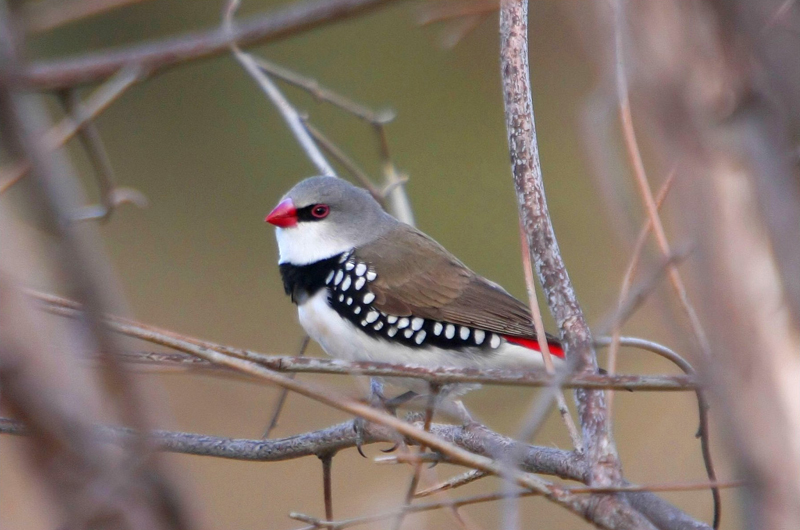 Diamond Firetail, Cooleman Ridge NR. Photo: Tobias Hayashi Photography