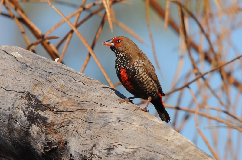Painted Firetail Finch. Photo: Mark Helle
