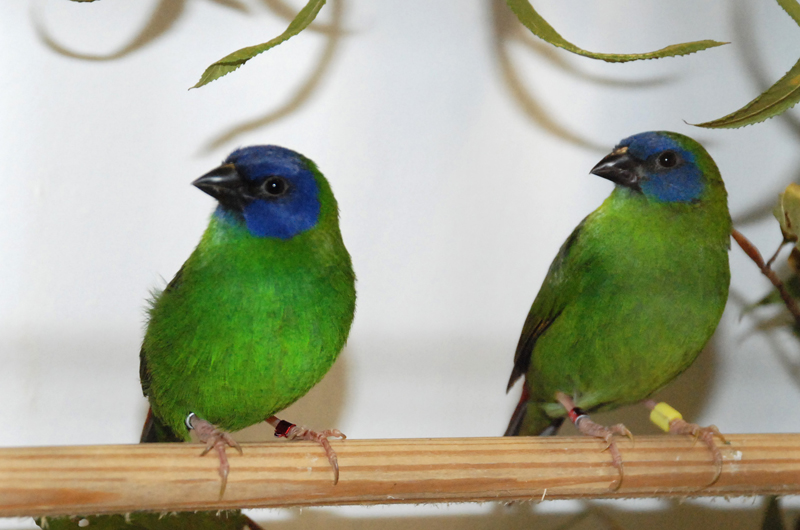 Pair Blue-faced Parrotfinches ( Erythrura trichroa), male (left), female (right)   Photo: Esben Elmer, DK    www.birdz.dk