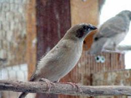 Juvenile Pictorella Munia