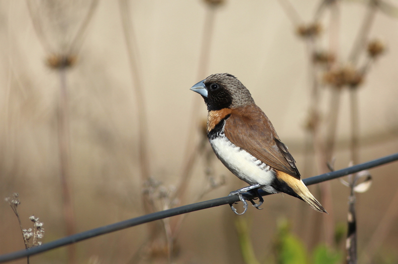 Chestnut-breasted Munia. Photo: Chris Wiley