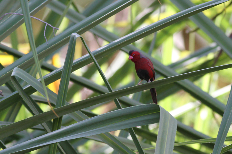 Crimson Finch  (Neoc  hmia phaeton) . Photo: Chris Wiley