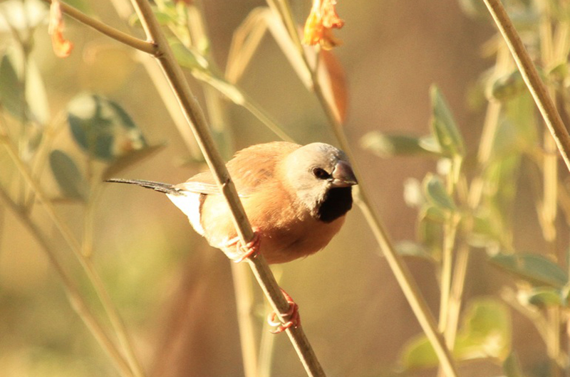 Black-throated Grassfinch. Photo: Julian Teh