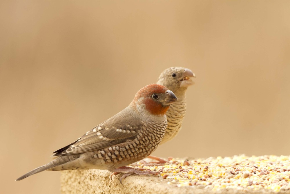 Red-Headed Finch or Aberdeen Finch  (Amadina erythrocephala).  Photo: Frans Naude