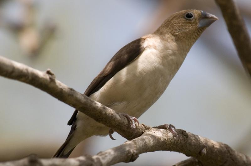 African Silverbill