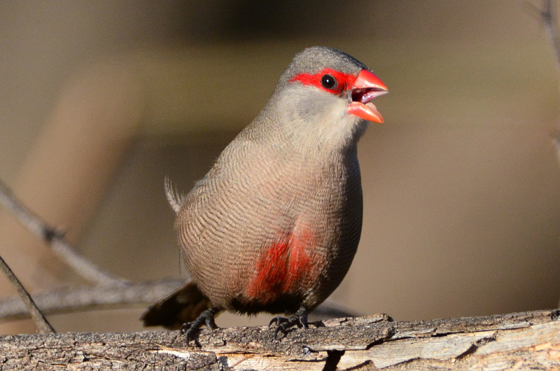 Common_Waxbill_01.jpg