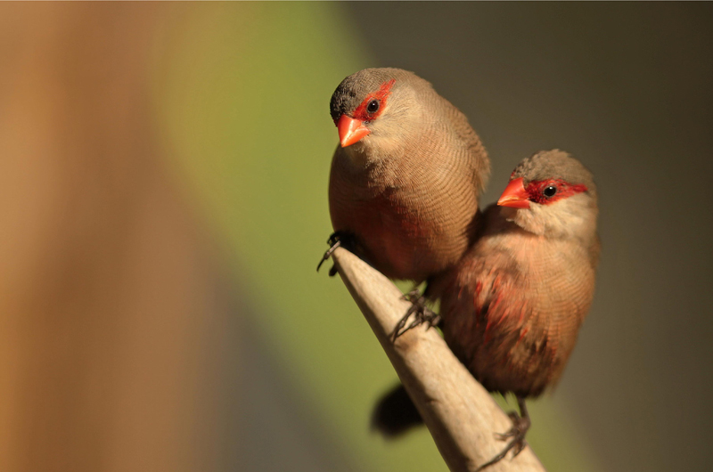 Pair of St. Helena Waxbills or Common Waxbills   (  Estrilda astrild  )  . Photo:  José Luís Barros