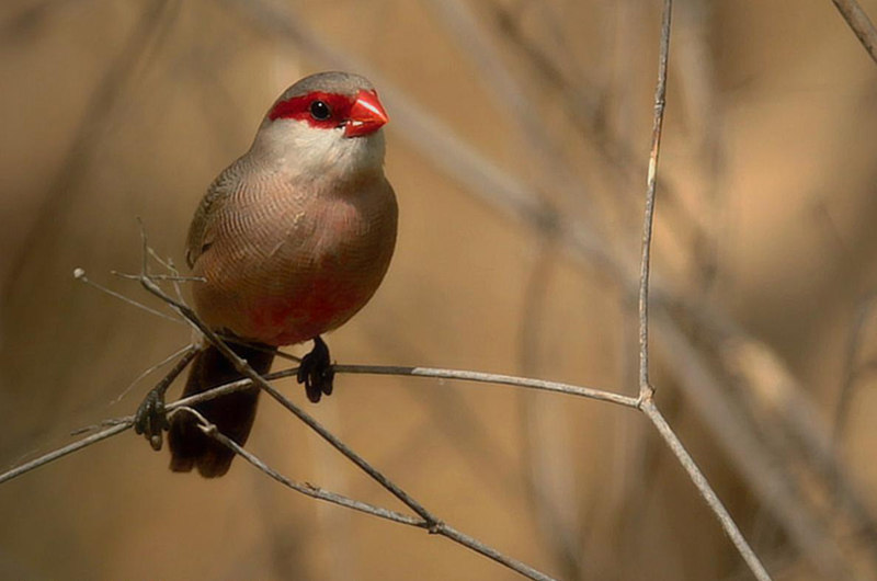 St. Helena Waxbill or Common Waxbill (Estrilda astrild). Photo: José Luís Barros