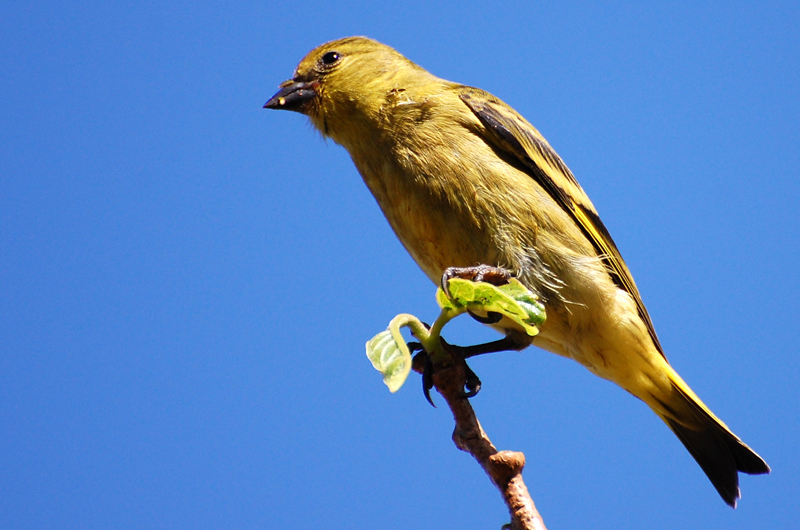 Adult (female) Black-Headed Yellow Siskin. Photo:   Dario Sanches