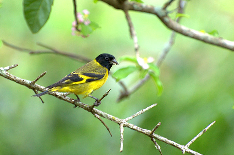 Adult (male) Black-Headed Yellow Siskin. Photo: Dario Sanches