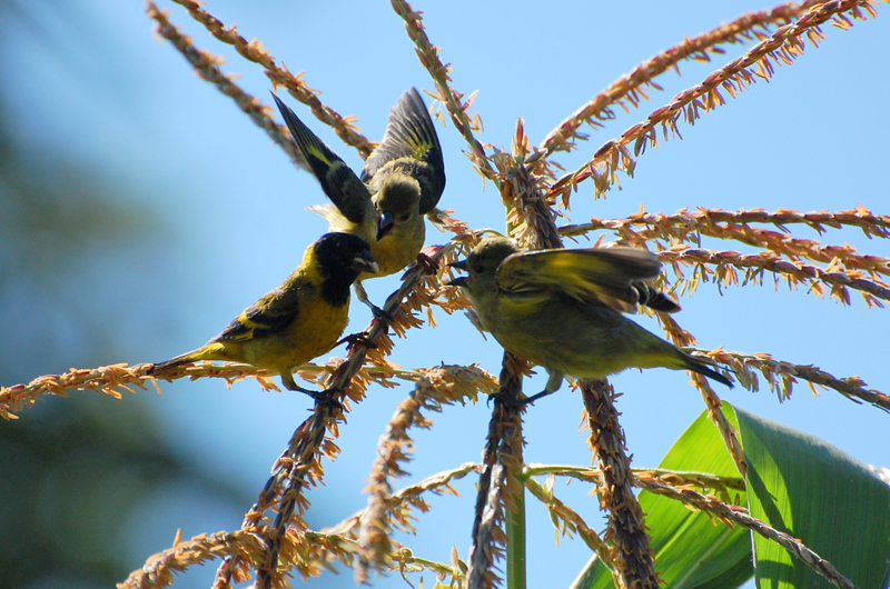Adult (male) Black-Headed Yellow Siskin feeding its young. Photo:   Dario Sanches