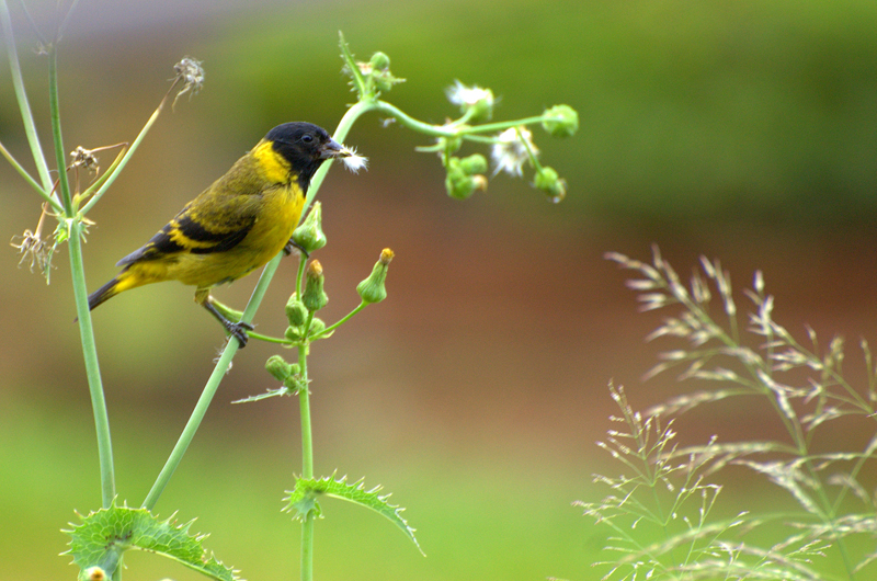 Black-Headed Yellow Siskin. Photo:   Dario Sanches
