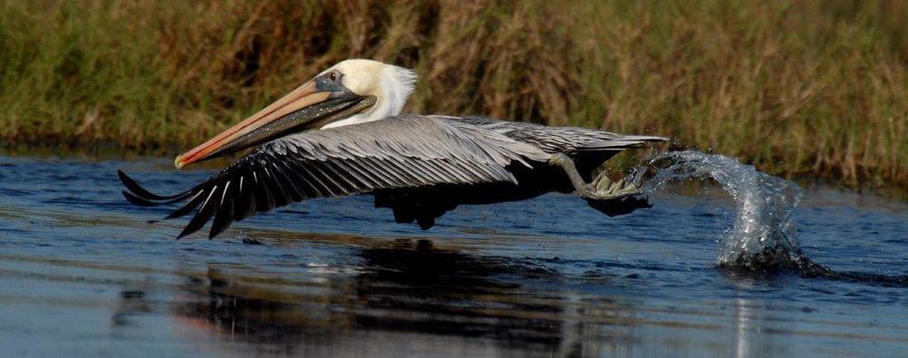 """""""Brown Pelican"""" - Jay Exum"""