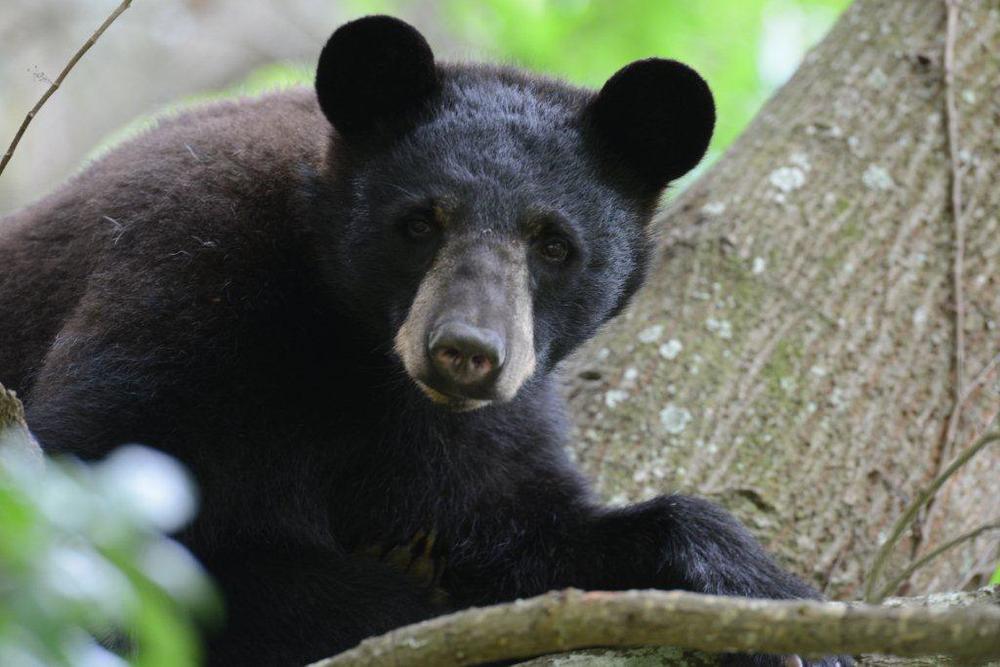 """""""Black Bear 1"""" - Jay Exum"""