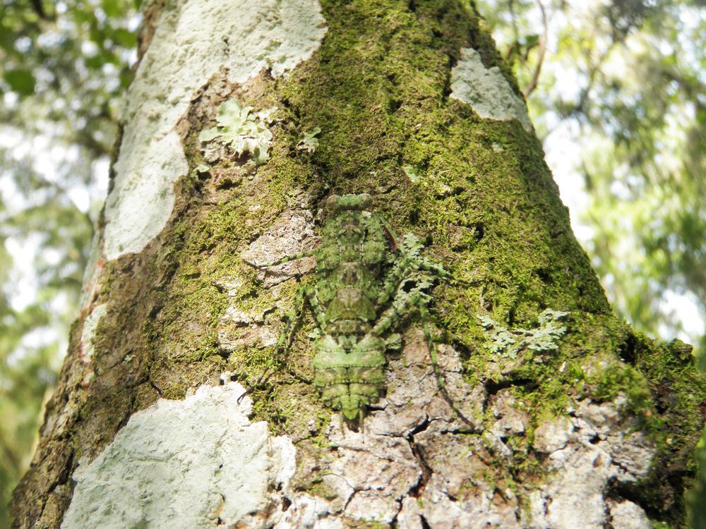 """Perfectly Camouflaged, Lichen Mimic Mantis"" - CJ Greene"