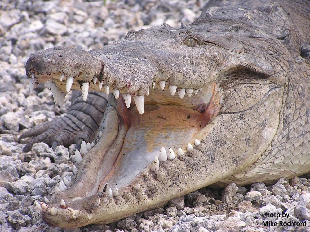 Croc 12 _Rochford.JPG
