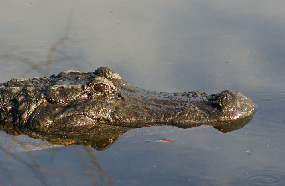 """American Alligator"" - Robert Mindick"