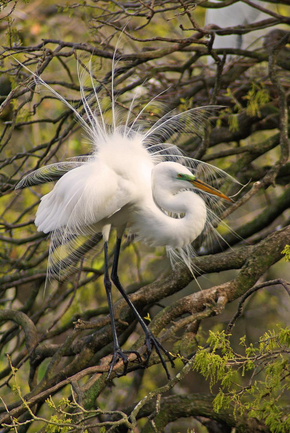 """Great Egret"" - Robert Mindick"