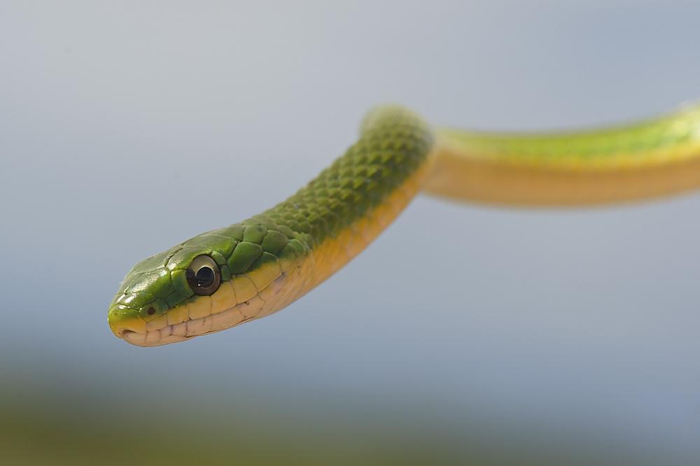 """""""Rough Green Snake"""" - Brian Garrett"""