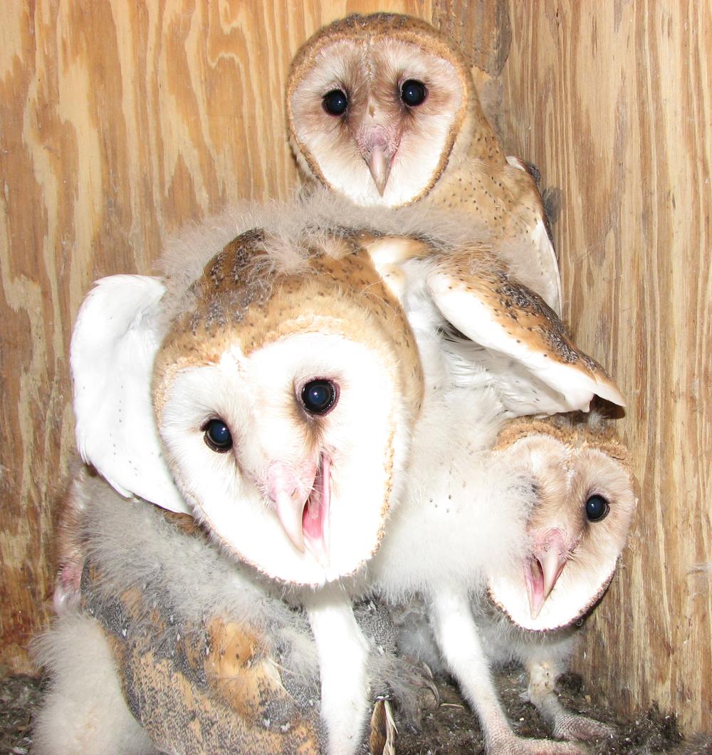 Barn Owl Nestlings - Maria Zondervan.JPG