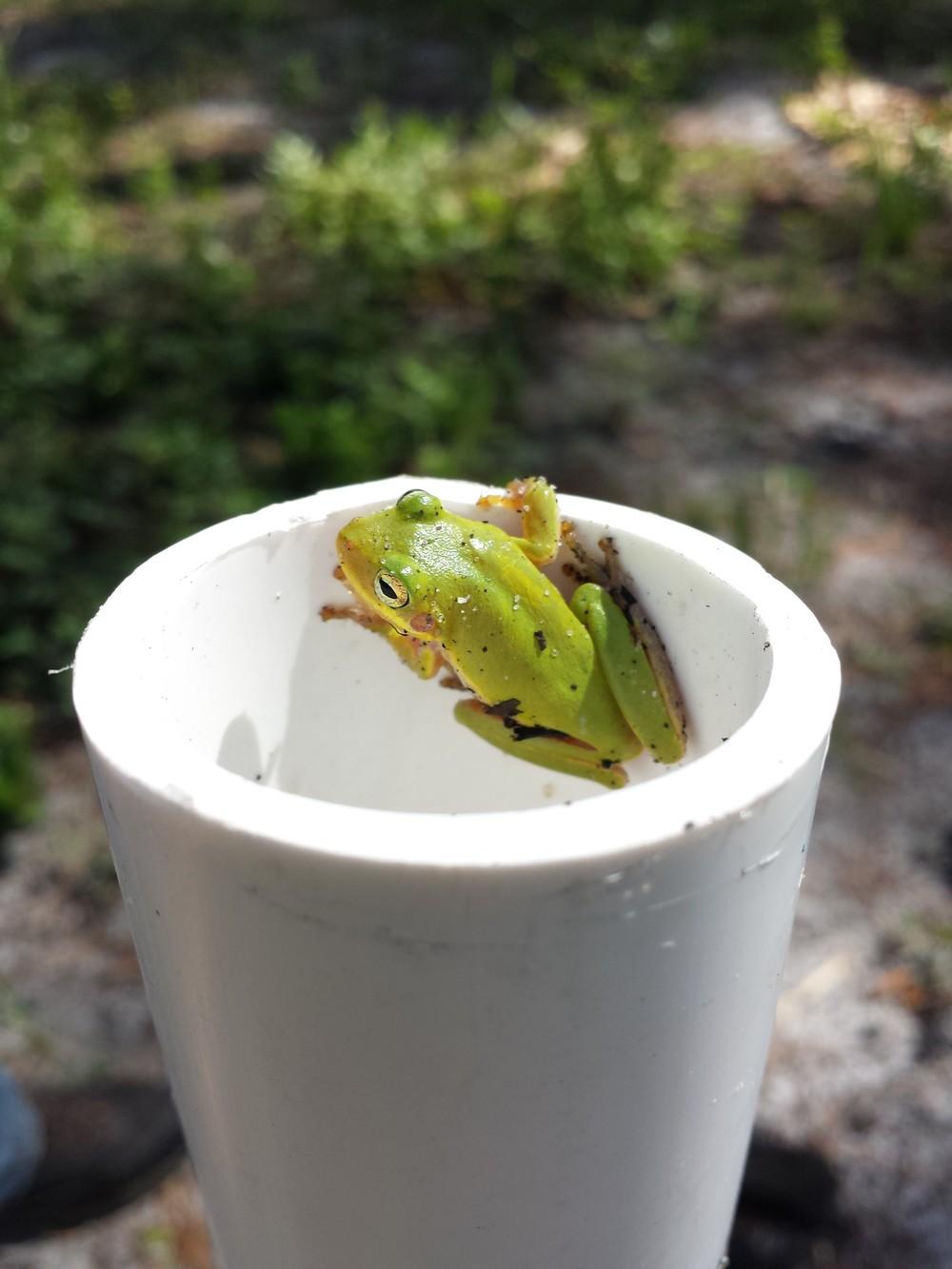 """Squirrel Tree Frog"" - Joshua Hochberger"