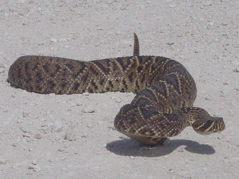 Eastern Diamondback Rattle Snake - Jeremy Conrad.JPG