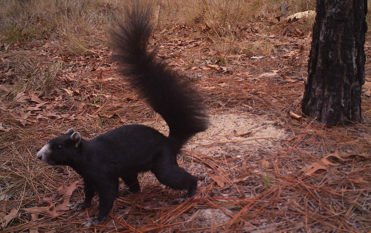 species spotlight march 2014 fox squirrel the wildlife society