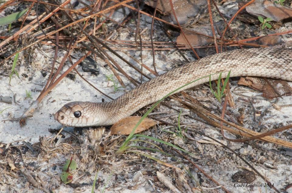 Juvenile Florida Pine snake