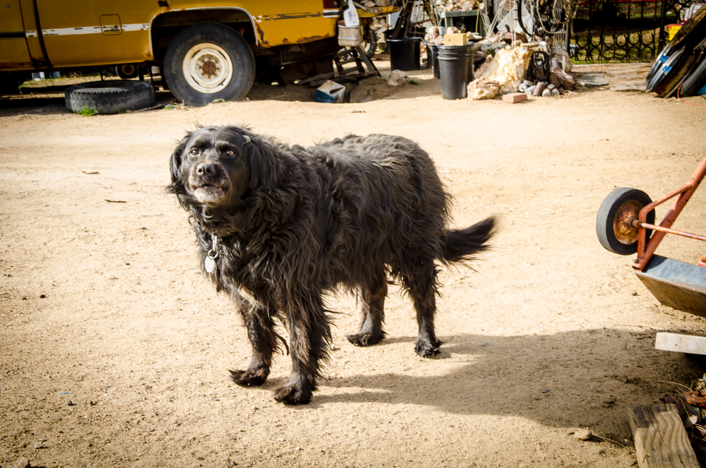Not Chopper, but a good old fashioned junk yard dog.  We had permission to be here and photograph, but our friend didn't care or want us there, until we introduced him to Mr Teriyaki Beef Jerky!  Austin, Nevada.
