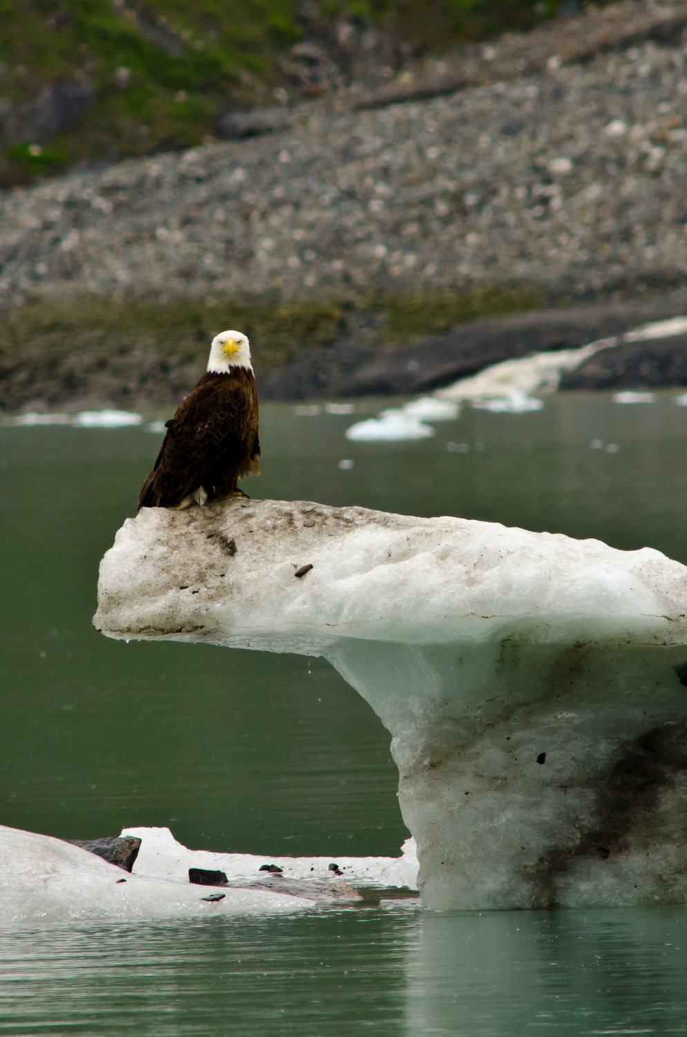 A bald eagle surveys the scene in the Johns Hopkins Inlet, Glacier Bay, Alaska.