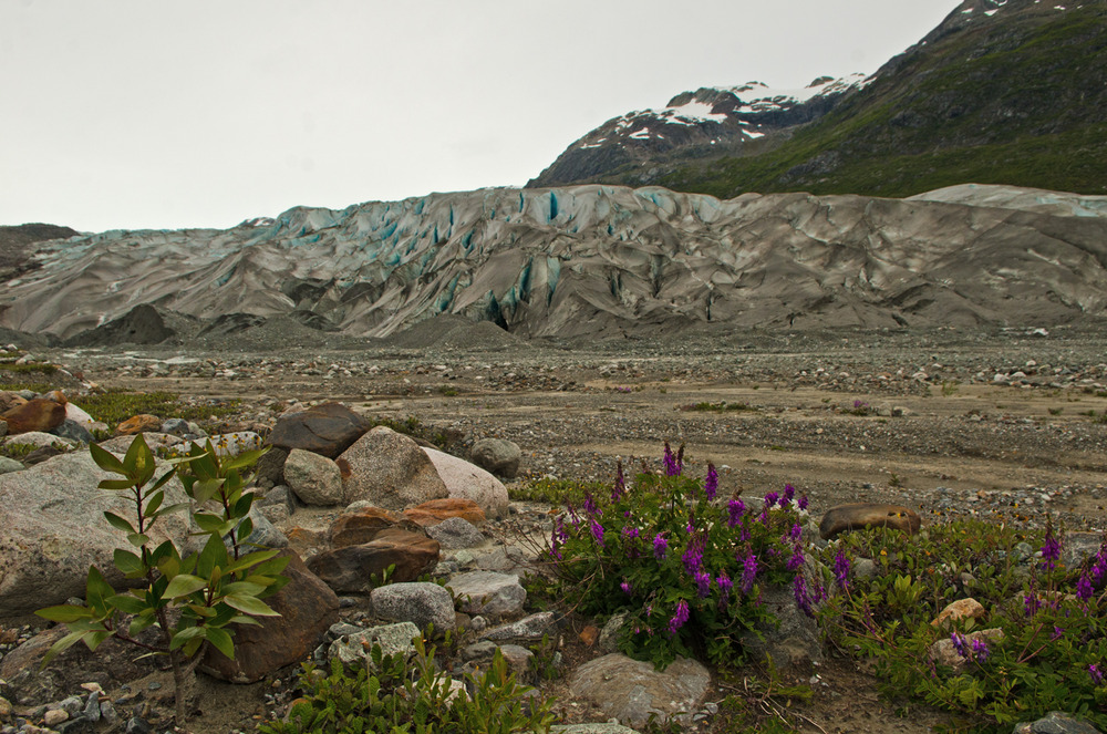 Life returns as the glacier receds.  Reed Glacier, Glacier Bay, Alaska.