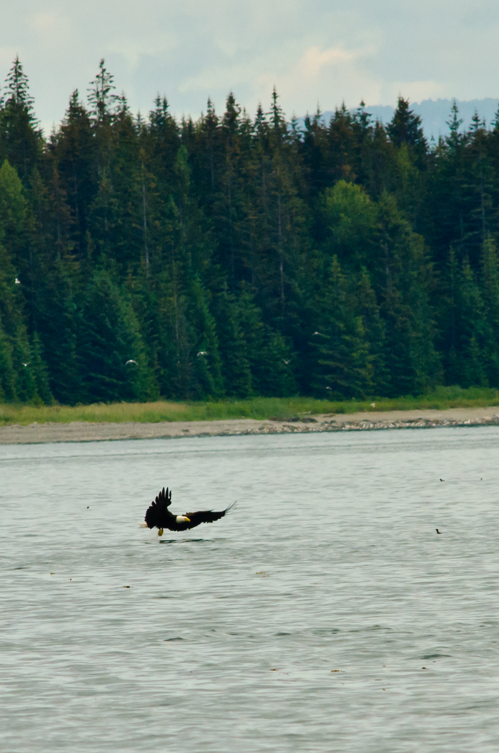 A bald eagle searches for a meal in Glacier Bay, Alaska.
