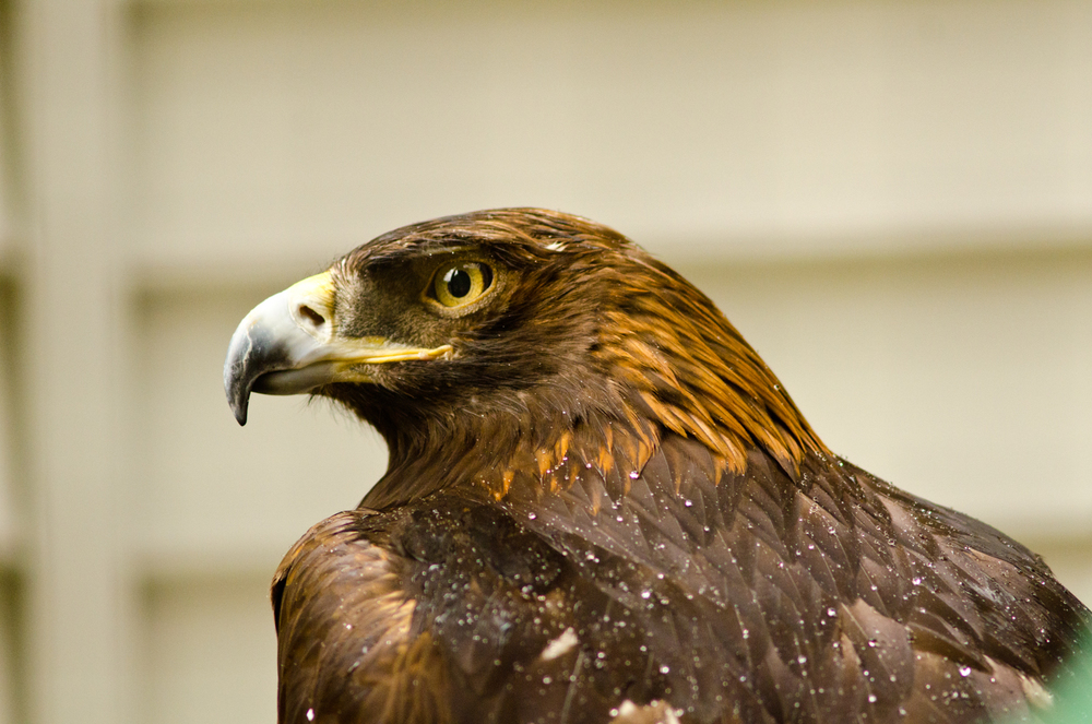 A golden eagle recovers at the Alaska Raptor Center.  Sitka, Alaska.