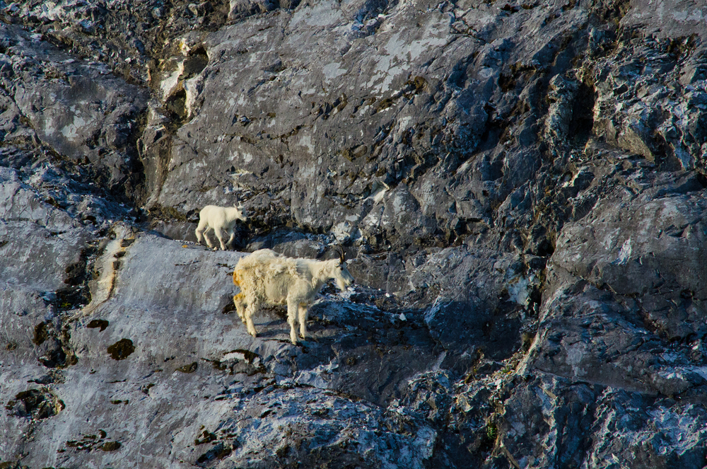 Mountain goats at home on the side of a cliff.  Gloomy Knob, Glacier Bay, Alaska.