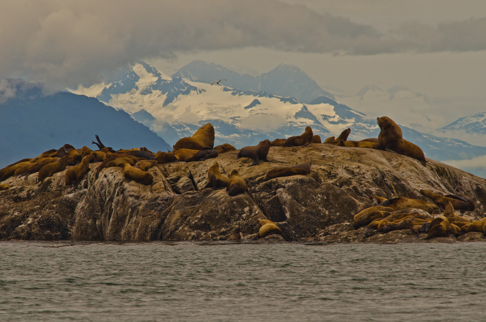 Large sea lions fight for territory while the rest enjoy an afternoon nap.  South Marble Island, Glacier Bay, Alaska.