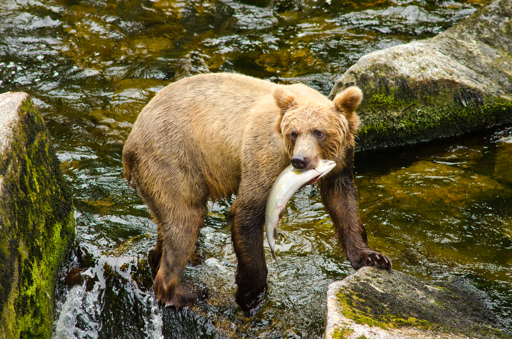 A brown bear expertly fishes for salmon.  Anan Wildlife Observatory, Alaska.