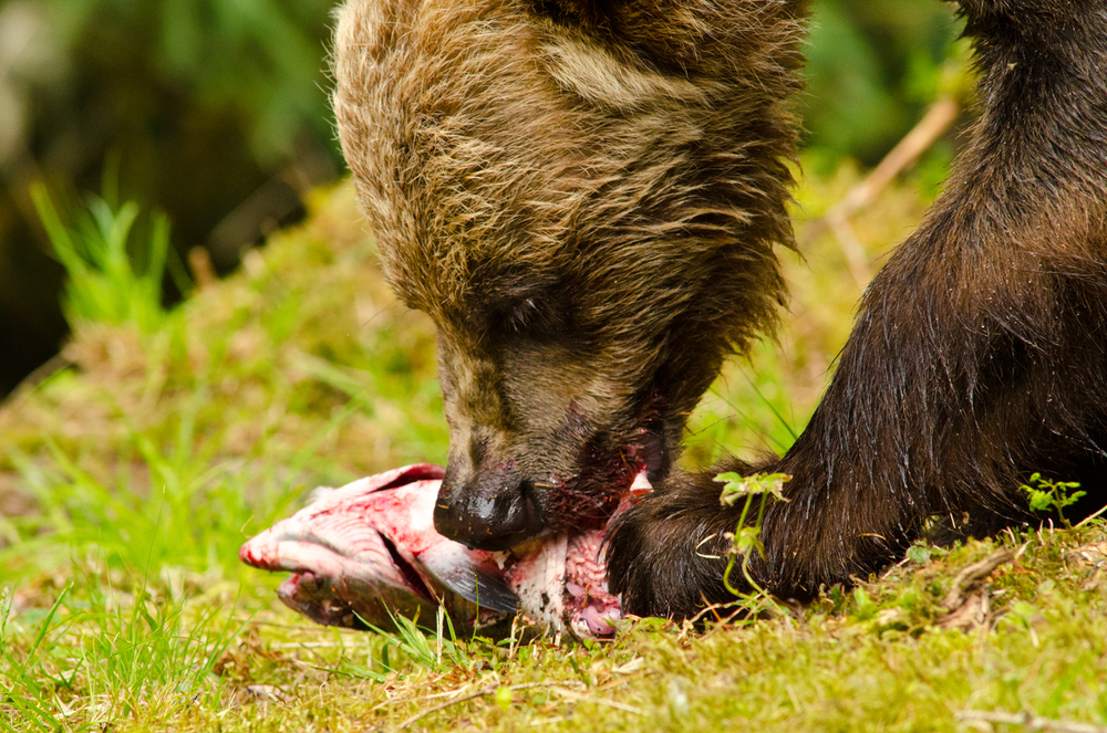 A brown bear makes quick work of a salmon, going after the skin and eggs first.  Anan Wildlife Observatory, Alaska.