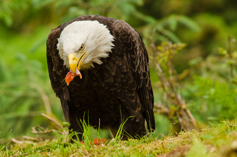 A bald eagle takes advantage of bears being sloppy eaters.  Anan Wildlife Observatory, Alaska.