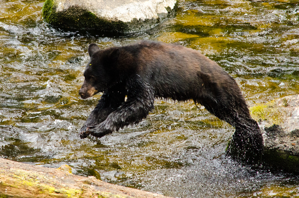 Bears are strong and fast, but if that isn't enough to scare you, did you also know that they're nimble?  Anan Wildlife Observatory, Alaska.