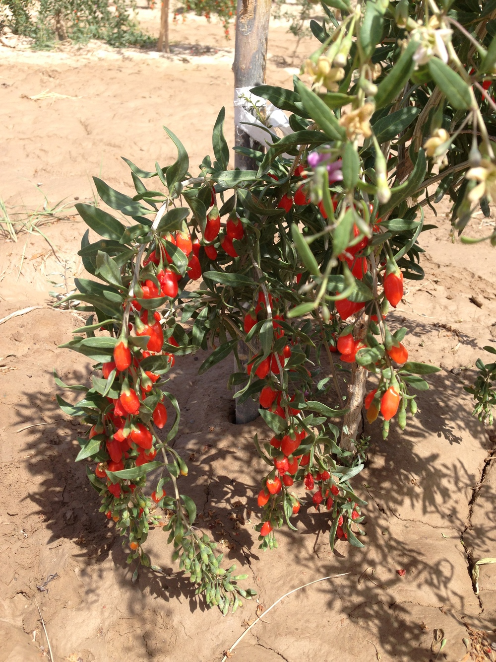 Young goji berry plant